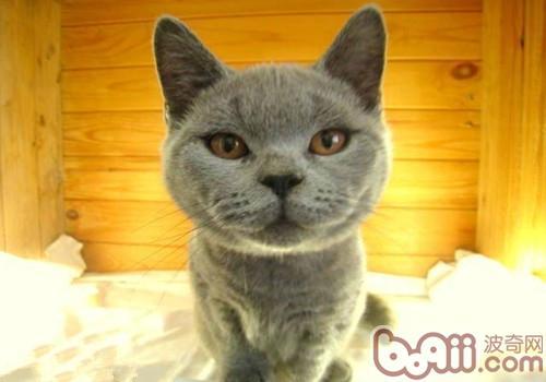 英国短毛猫的喂食要求