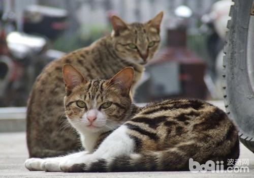 中国狸花猫的喂食要求