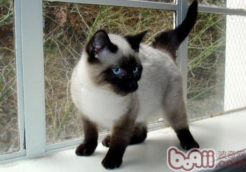 暹罗猫的形态特征是什么样的