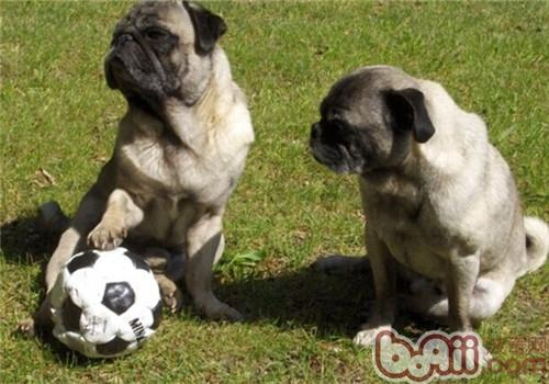 巴哥犬的品种简介