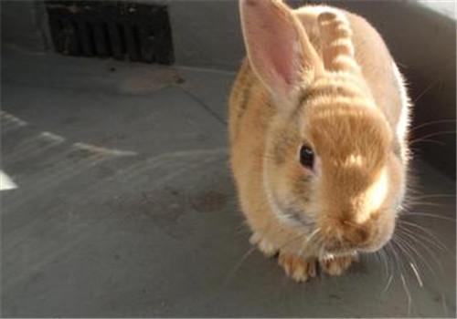让你的兔兔自己学会上厕所
