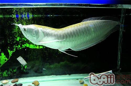 银龙鱼的外形特点