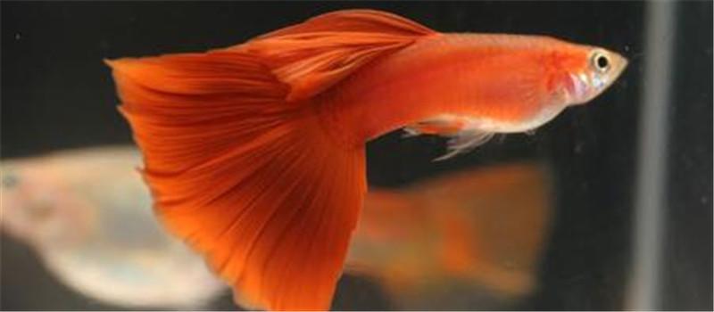 孔雀鱼发病前的十个征兆