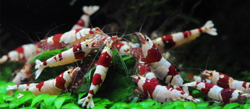 水晶虾繁殖期的水质要求