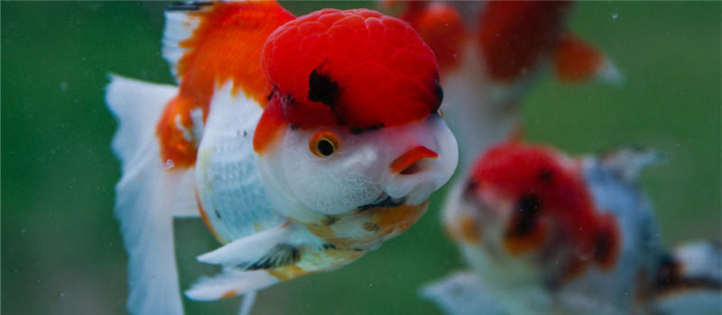 如何提高金鱼的繁殖力