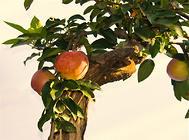 冬季需注意预防果树盆栽冻害