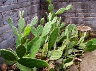 食用仙人掌的病虫害防治