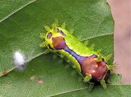 黄刺蛾的防治方法