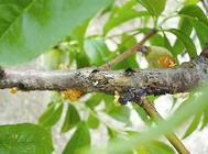 桃树桃流胶病的防治方法