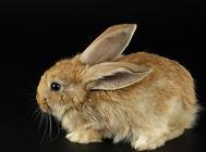 为何獭兔繁殖障碍常有发生