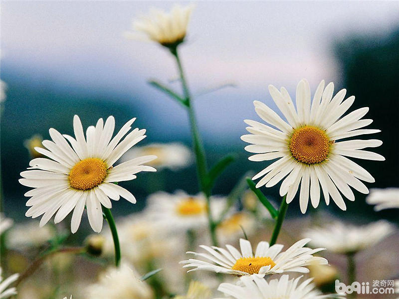 雏菊的传说及花语介绍