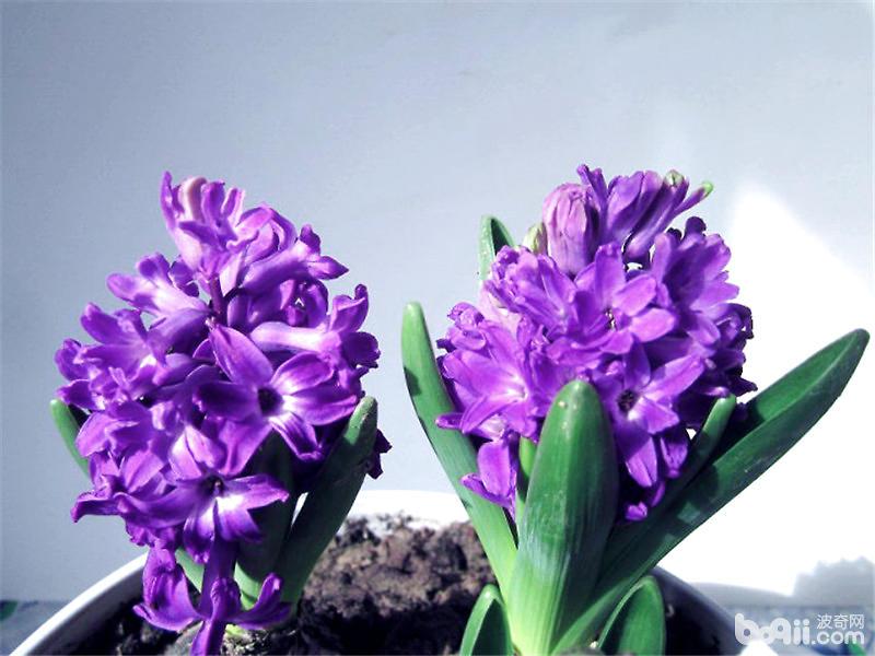 紫色风信子的传说及花语介绍