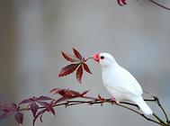怎样人工繁殖文鸟