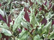 紫背天葵的扦插繁殖方法