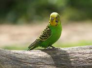 虎皮鹦鹉繁殖与老幼区别