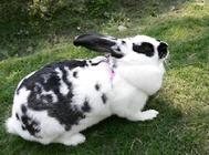 不同情况的母兔如何催乳