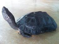 孵化黑颈乌龟的注意事项