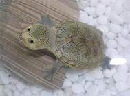 龟卵孵化过程中的自我检查