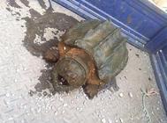 鳄龟在交配期间一定要知道的事情