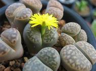 生石花的扦插与分株繁殖法