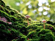 苔藓的常见品种介绍