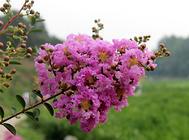 紫薇种子的处理方法