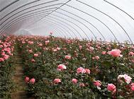 大棚花卉冬季应防护的病害