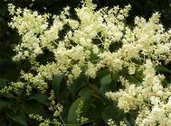 夏季嫩枝扦插的繁殖方法
