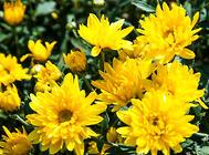 常见花卉易遭受的虫害解析