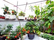 入冬后阳台果蔬该如何栽培