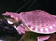 猪鼻龟吃什么?