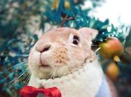 如何训练宠物兔回兔子笼子