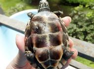 草龟最适宜的饲养水位是多少?