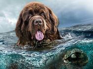 最好的救生员—纽芬兰犬