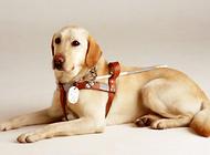 导盲犬一生有哪几个阶段?
