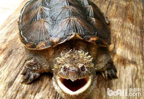 判别佛鳄龟是纯种的方法