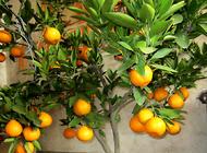 盆栽柠檬的养殖方法