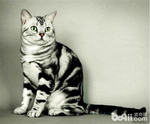 中华田园猫的品种