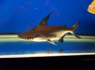 成吉思汗鱼和蓝鲨的区别