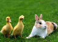 荷兰侏儒兔的喂食要点