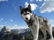 西伯利亚雪橇犬品种介绍