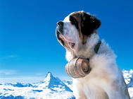 雪山中的守护神——圣伯纳犬