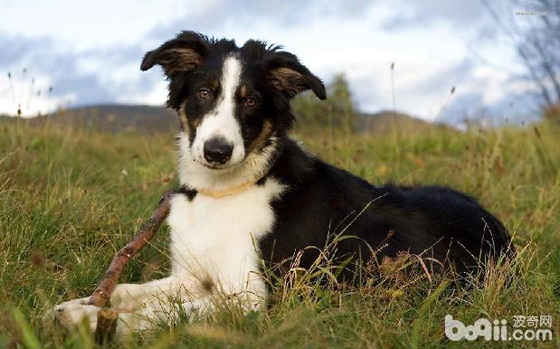 怎么护理边境牧羊犬 好饲养吗