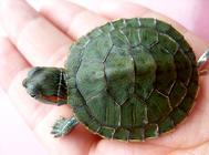 乌龟怎么养放多少水 乌龟饲养放多少水合适
