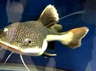 招财猫鱼吃什么?招财猫鱼吃什么长得快