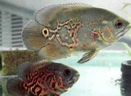 地图鱼常见病都有哪些
