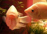 接吻鱼吃什么,接吻鱼喂养方式