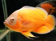 地图鱼不吃东西怎么办?地图鱼不吃食原因有哪些?