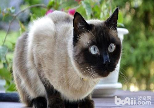 暹罗猫.jpg