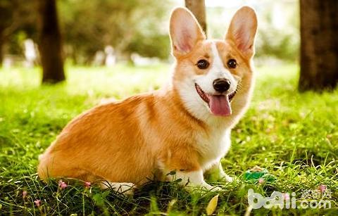 柯基犬有几种颜色